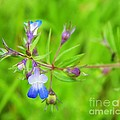 Photography Moments - Sandi - Maiden Blue Eyed Mary -...