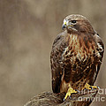 Inspired Nature Photography By Shelley Myke - Majestic Redtailed Hawk
