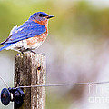 Dawna  Moore Photography - Male Eastern Bluebird...