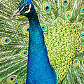 Darleen Stry - Male Indian Peacock