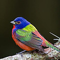 Dawna  Moore Photography - Male Painted Bunting...