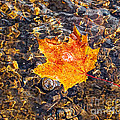 Barbara McMahon - Maple Leaf Floating in A...