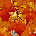 Andrea Kollo - Maple Leaves