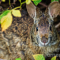 Dawna  Moore Photography - Marsh Rabbit