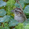 Kathy Baccari - Marsh Wren Peeking Out...