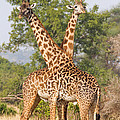 Chris Scroggins - Masai Giraffes