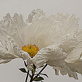 Lee Kirchhevel - Matilija Poppy White on...
