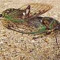 Rory Cubel - Mating Cicadas
