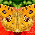 Irfan Gillani - Meadow Argus Butterfly