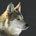 Ernie Echols - Mexican Grey Wolf...