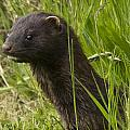 Rob Mclean  - Mink in the grass