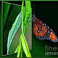 Thomas Woolworth - Monarch Butterfly 04