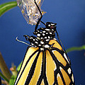Inspired Nature Photography By Shelley Myke - Monarch Butterfly...