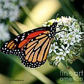 Veronica Batterson - Monarch Butterfly