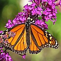 MTBobbins Photography - Monarch Hangs on to...