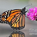 Kathy Baccari - Monarch On A Pink Flower