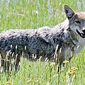 David Broome - Montane Meadow Coyote