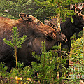 Stanza Widen - Moose Family at the...
