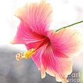 Connie Fox - Morning Hibiscus in...