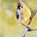 Debbie Portwood - Morning Tufted Titmouse...