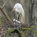 Bonnie Barry - Mother Egret and Chicks