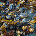 Sarah Crites - Mound of Mussels