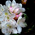 Kathy Barney - Mountain Laurel