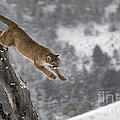 Bob Weiman - Mountain Lion - Silent...