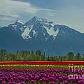 Louise Magno - Mt Cheam Tulips