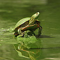 James Peterson - Mud Turtle