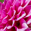 Roger Reeves  and Terrie Heslop - My Dahlia