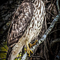 Karen Wiles - My Hawk Encounter