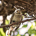 Janice Rae Pariza - Nest Building Sparrow