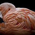 Wes and Dotty Weber - Nesting Flamingo D6500