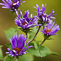 Christina Rollo - New England Aster