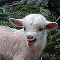 Dwight Cook - Nigerian Baby goat 3 of 8
