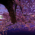 Metro DC Photography - Night Blossoms