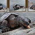Patti Deters - Hungry Snapping Turtle...