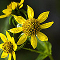 Christina Rollo - Nodding Bur Marigold