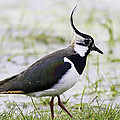 Mr Bennett Kent - Northern Plover Green...