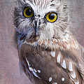 Angie Vogel - Northern Saw-Whet Owl