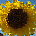 Luther  Fine Art - Sunflower - Not Quite...