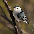 Lara Ellis - Nuthatch Pose 1