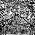 Dawna  Moore Photography - Oak Lined Avenue...