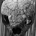 Gustave Kurz - Old Carved Skull What