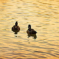 Angela A Stanton - On Golden Pond Ducks