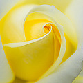Julie Palencia - One Yellow Rose