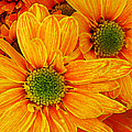 Amy Vangsgard - Orange Daisies Square