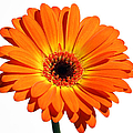 Juergen Roth - Orange Gerber Daisy...