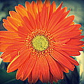 Laurie Perry - Orange Gerbera